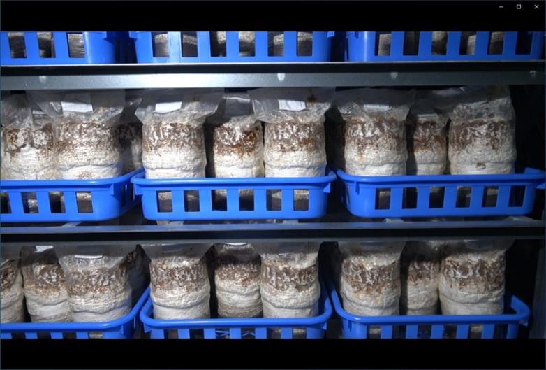 ズラリと並んだシイタケの菌床